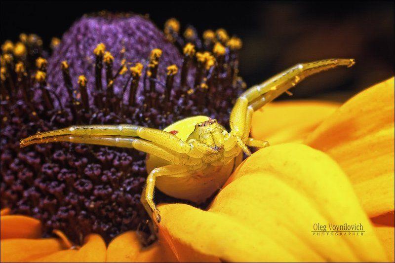 макро, насекомые, паук Goalkeeperphoto preview