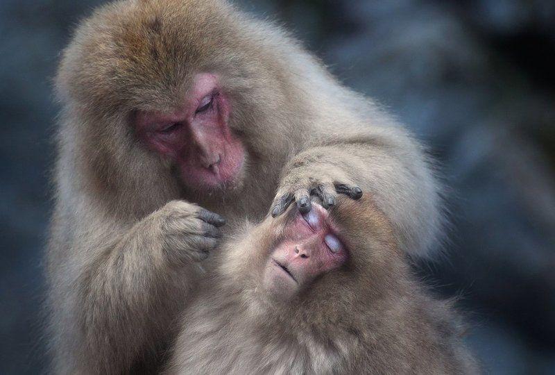 обезьны, япония Визажист за работойphoto preview