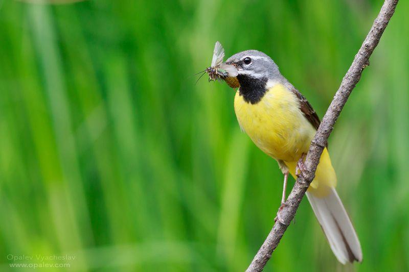 птицы, мухи, еда, кормление, трясогузка, желтый, лето, весна Желтая трясогузкаphoto preview