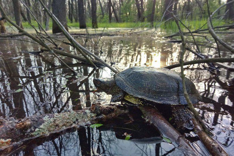 черепаха, болотная, emys, orbicularis, самарский лес, левада Самарская левадаphoto preview