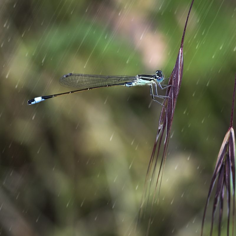 dragon fly, rain, close up Dragon fly in the rainphoto preview