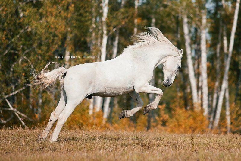 лошадь, прыжок, поле, галоп, красота Орловский мерин Красавчик photo preview