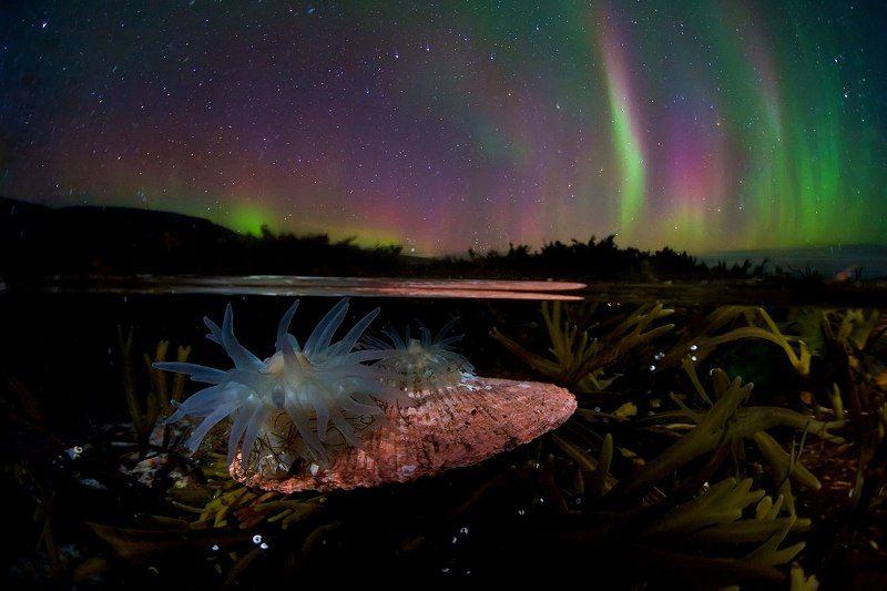 ночь, север, полярное сияние, заполярье, сплит, анемона, актиния, литораль, дикая природа россии, кольский полуостров Под пологом ночиphoto preview
