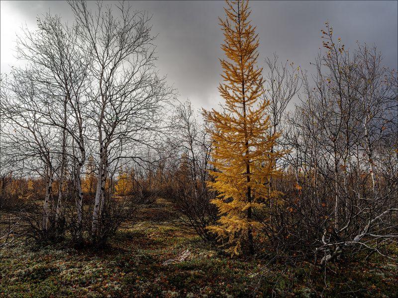 пейзаж, природа, лес, тундра, небо Зима близко...photo preview