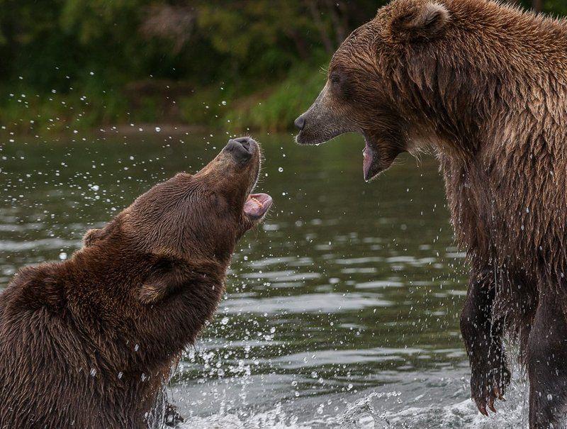 бурый медведь Разговорphoto preview