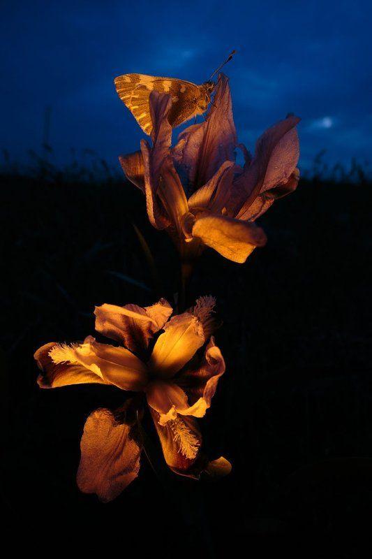 Рапсовая белянка, Pontia edusa, кожистый ирис, Iris scariosa Ночной дуэтphoto preview