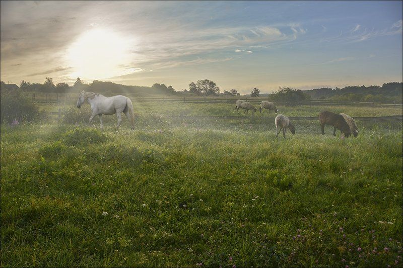 пастораль, утро, туман, солнце, овцы и кони, Пасторальphoto preview
