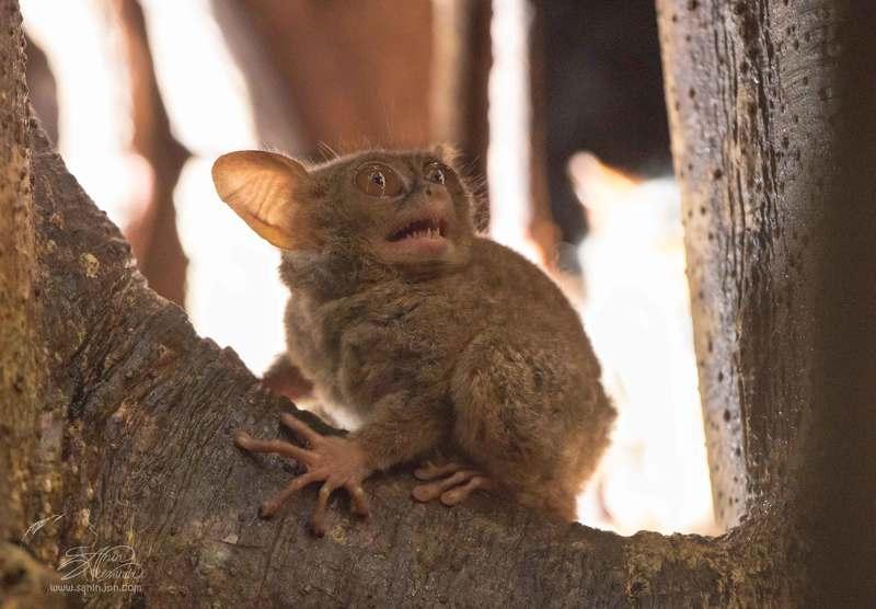 долгопят, о. сулавеси, национальный парк тангкоко. Долгопят (Spectral tarsier)photo preview