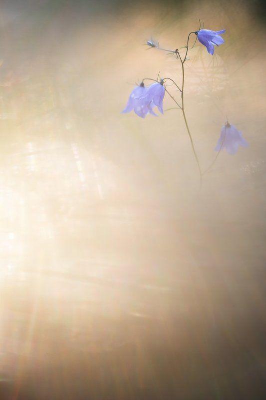 цветы, цветок,макро, растения, природа,колокольчик, боке Вечерний светphoto preview