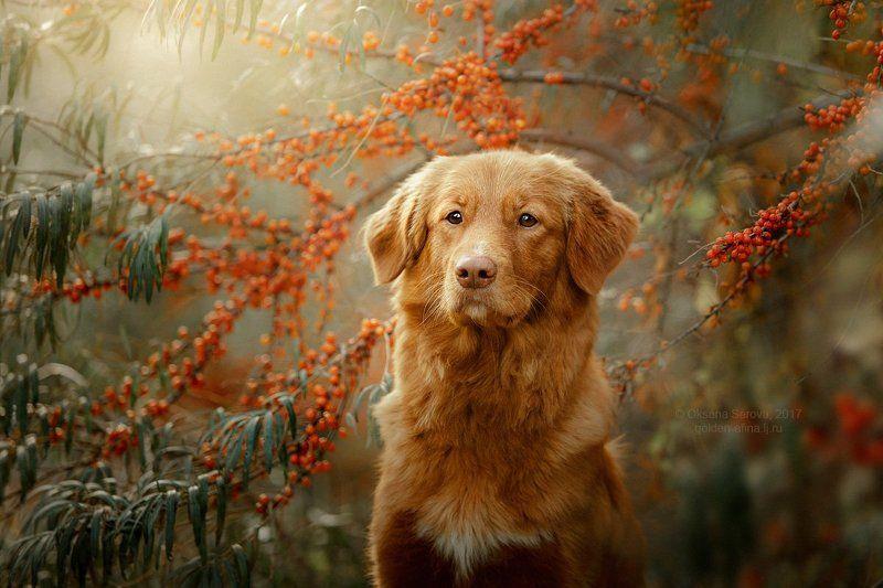 собака, толлер, портрет, ретривер, рыжие, новошотландский ретривер Ягодкаphoto preview