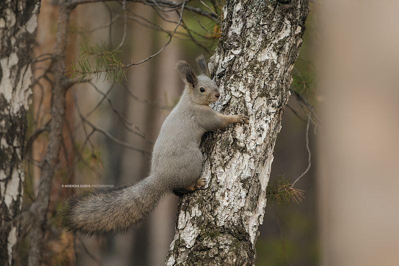 Лесной жительphoto preview