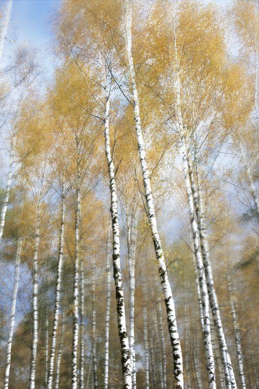 березы, березовая, роща, осень Шум осеннего ветра . The noise of the autumn windphoto preview