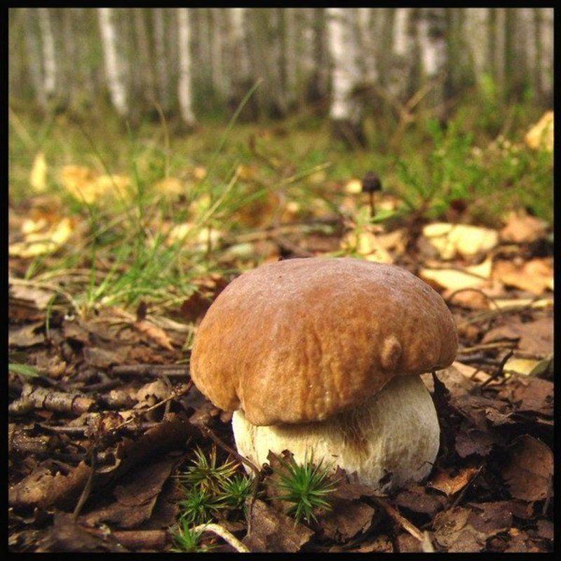 гриб боровик белый лес осень Ну почему же я белый? ) Я же боровичек )photo preview