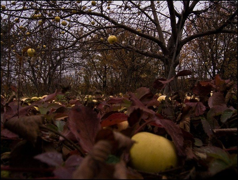 яблоки Опустел мой садphoto preview