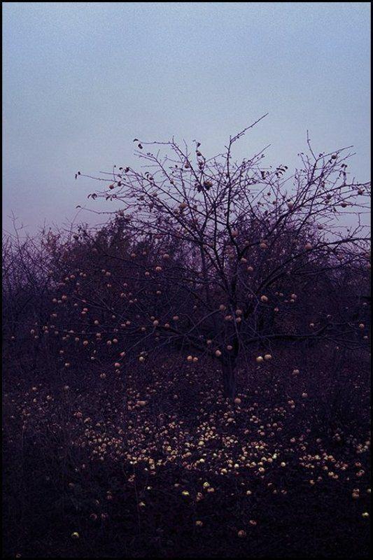 яблоня Хоккуphoto preview