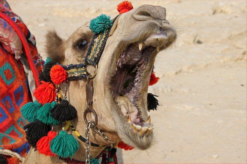 верблюд, зевота Зевотаphoto preview