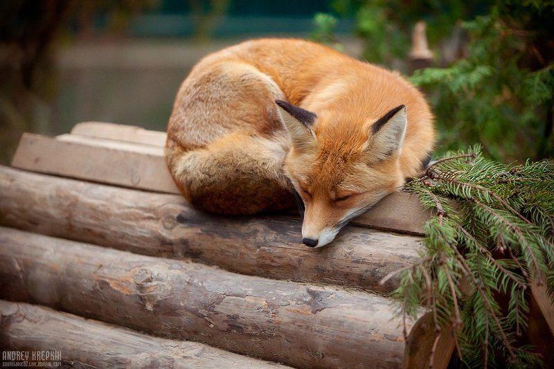 киевский зоопарк, лиса Лисичка-сестричкаphoto preview