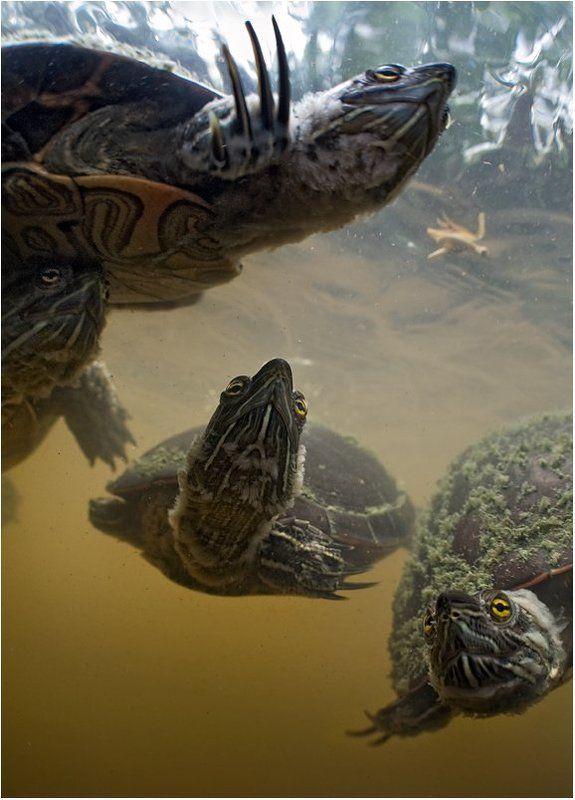 черепаха, доминикана Наследники Великого А\'Туинаphoto preview