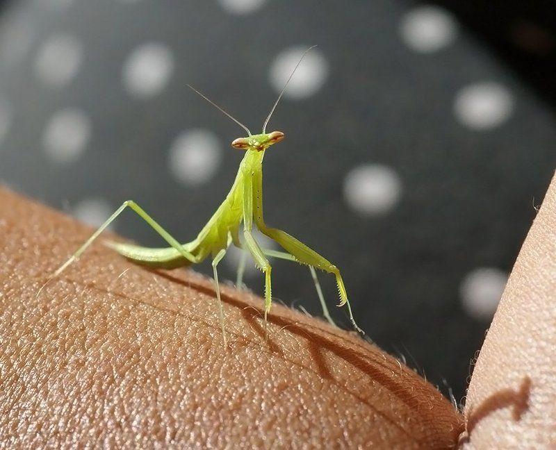 богомол, насекомое, Привет, фотограф!photo preview