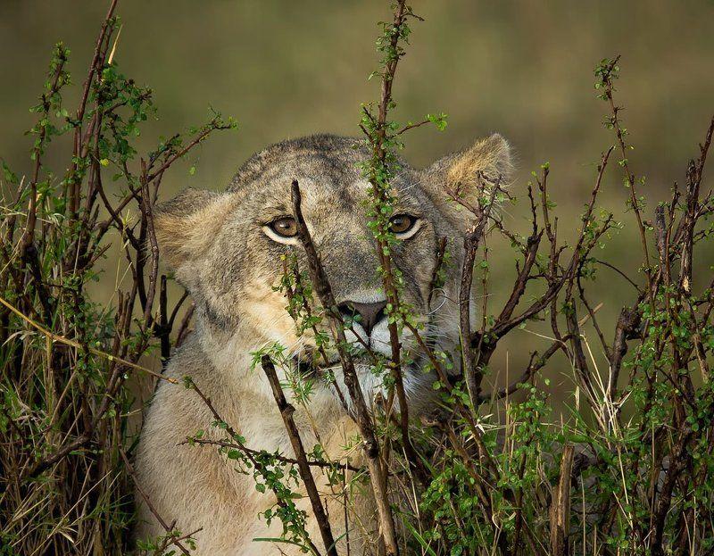 африка, кения, львы  o o photo preview