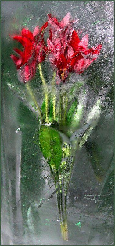 зимние, тюльпаны, цветы, лед Зимние тюльпаныphoto preview