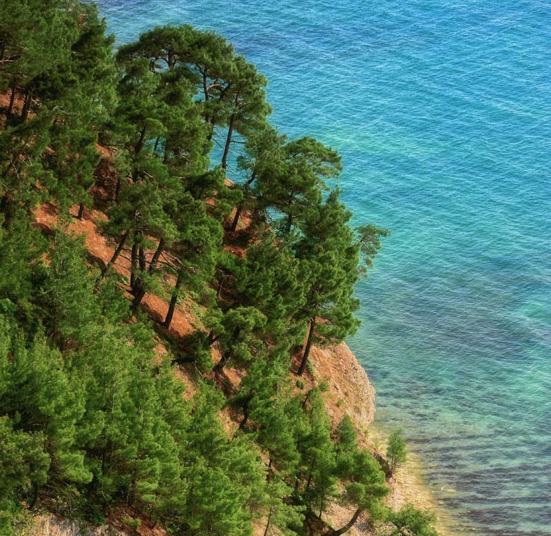 лето , море , сосны , пляж , тепло Реликтовые сосныphoto preview