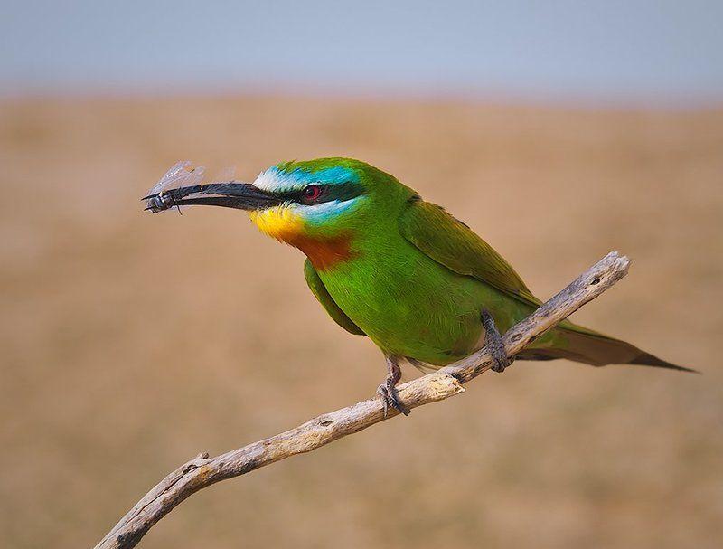 птицы,щурка,зеленая,фотоохота Зеленая щурка 2photo preview