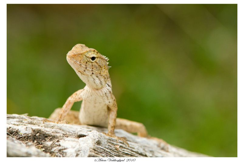 ящерица photo preview