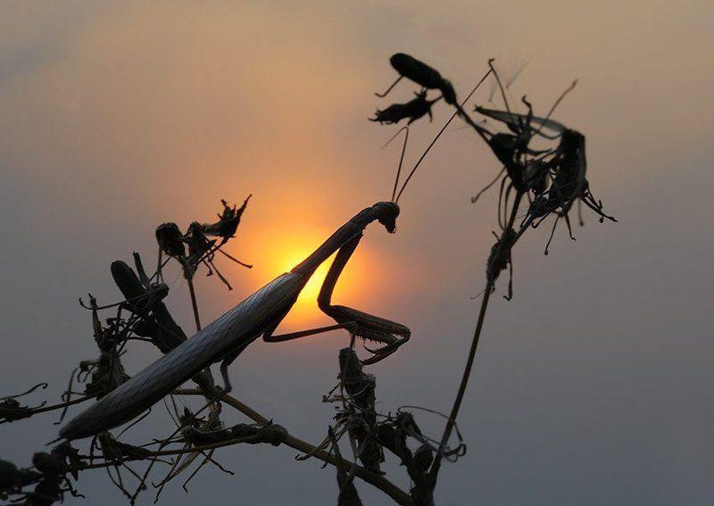 mantis, religiosa, богомол Закат близ Чугуеваphoto preview