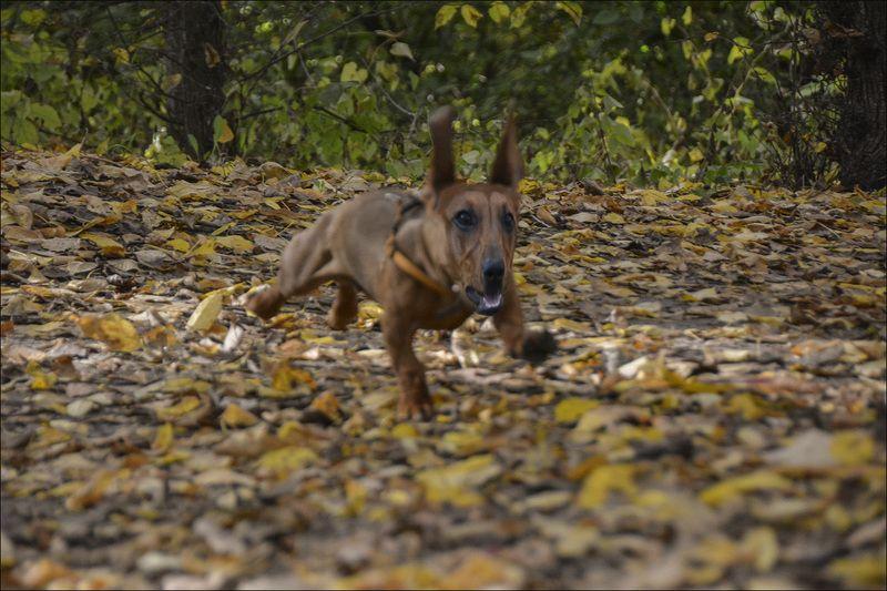 осень,позитив,такса,собак,гасает,радуется в отрывphoto preview