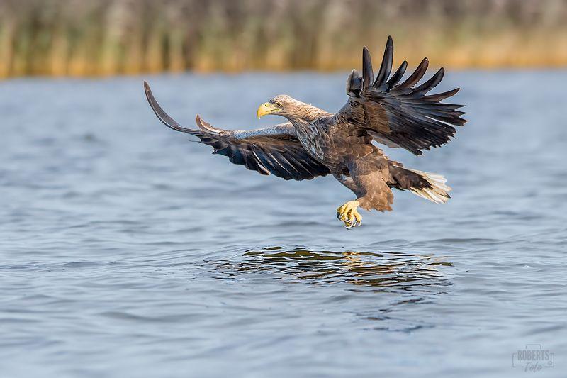 bielik ptak drapieżny photo preview