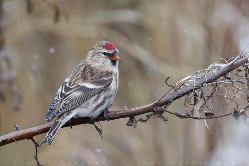 чечетка, птица, снег, осень, Чечетка, осенний портретphoto preview