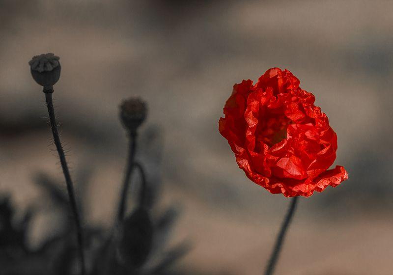Природа, цветы, макро, мак Красный макphoto preview