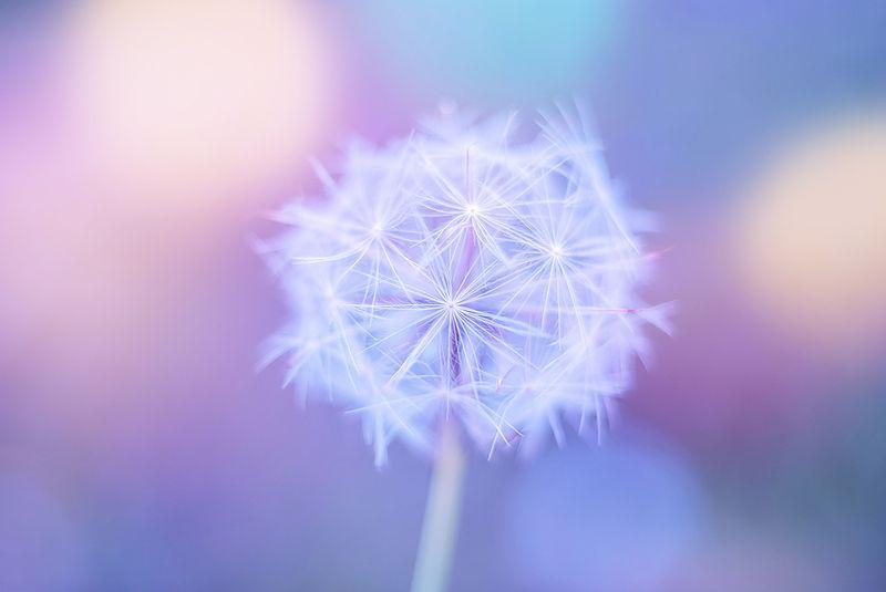 antrisolja, природа, макро, Tender dandelionphoto preview