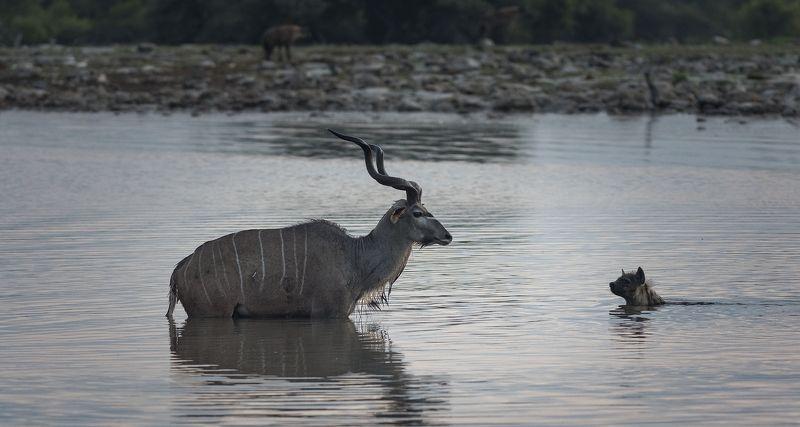 намибия, этоша, рассвет, охота, куду, гиена Намибияphoto preview
