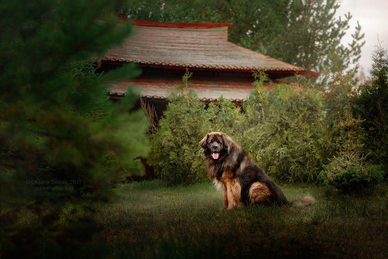 собака, леонбергер, китай, пагода Затаившийся медведьphoto preview