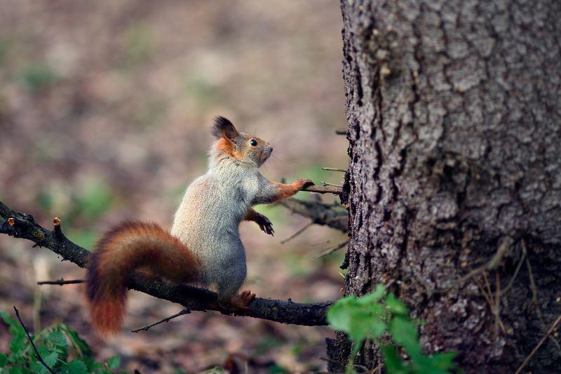 белка, животные, природа Про бельчатphoto preview