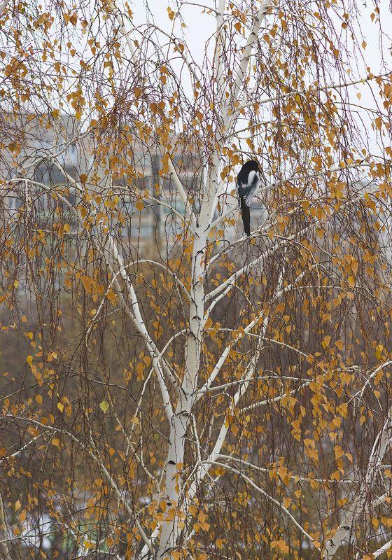 Осень, береза, животные, птицы, сорока Осенняя грустьphoto preview