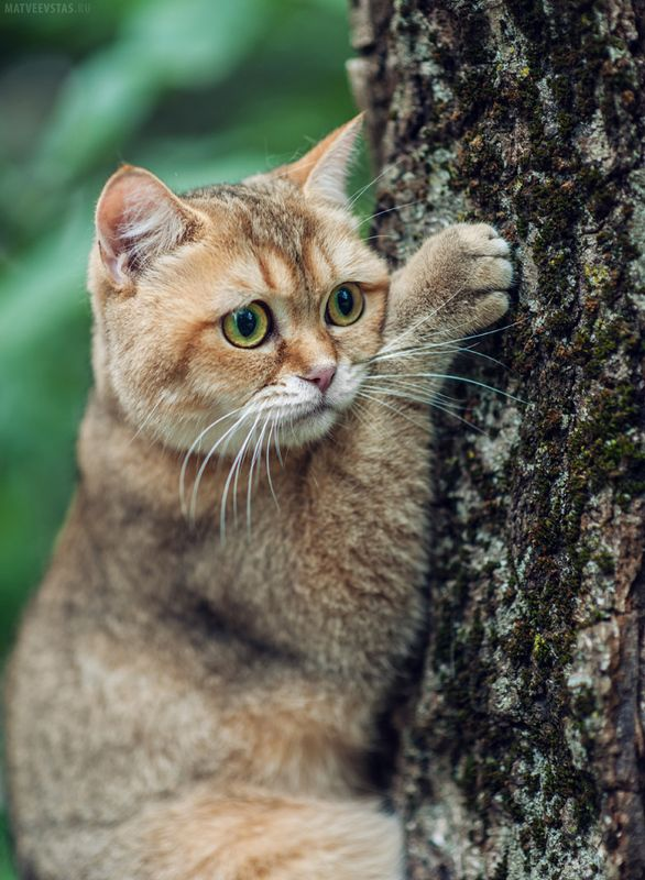 кот котик котики котэ британец Апельсинphoto preview