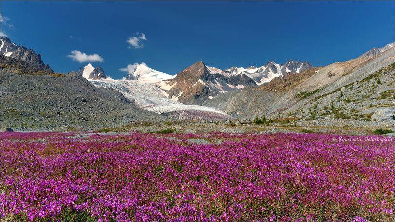 аккол, софийский ледник, кипрей, лето, алтай, красный снег Лето у Софийского ледникаphoto preview