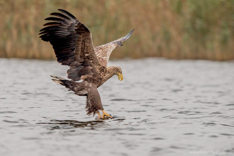 Орел в полете Орел в полетеphoto preview