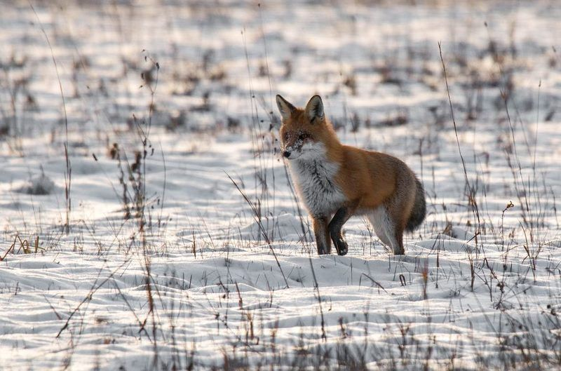 лисица, снег, дикие животные,поле, Мышеловкаphoto preview