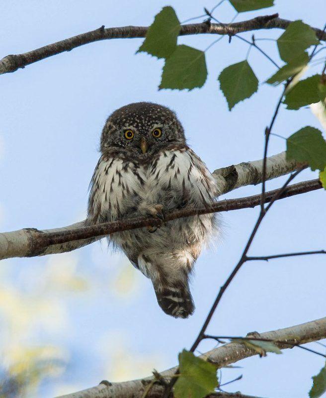 птицы, сычик,  В ожиданииphoto preview
