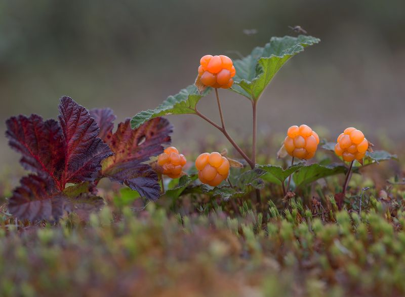 якутия, нерюнгри, морошка Квинтетphoto preview