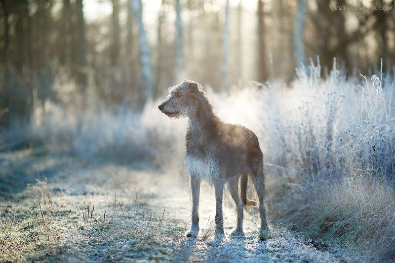собака, ирландский волкодав, рассвет, иней, мороз, борзая Утро мечтыphoto preview