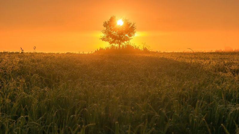 рассвет, солнце, дерево, поле, лето, роса, трава Дерево солнцаphoto preview