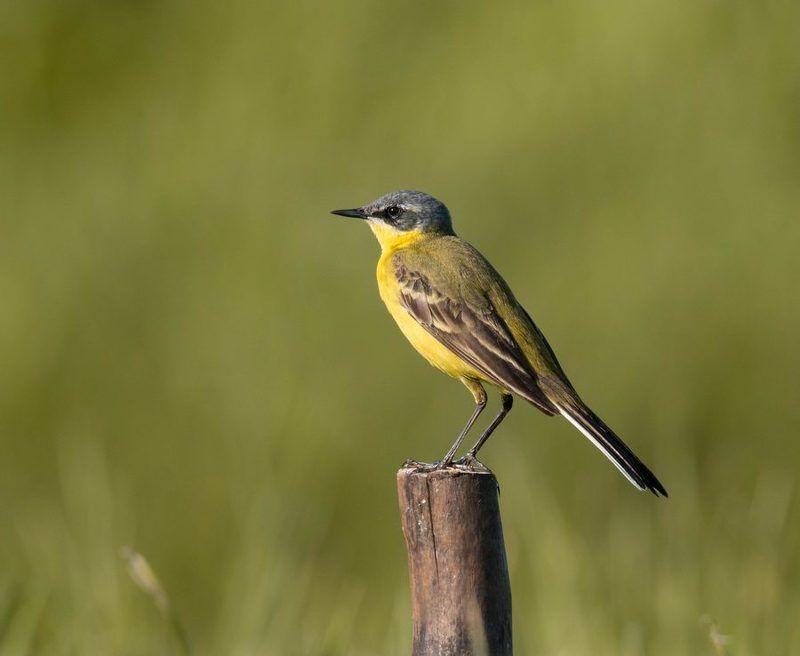 птицы, трясогузка, Пункт наблюденияphoto preview