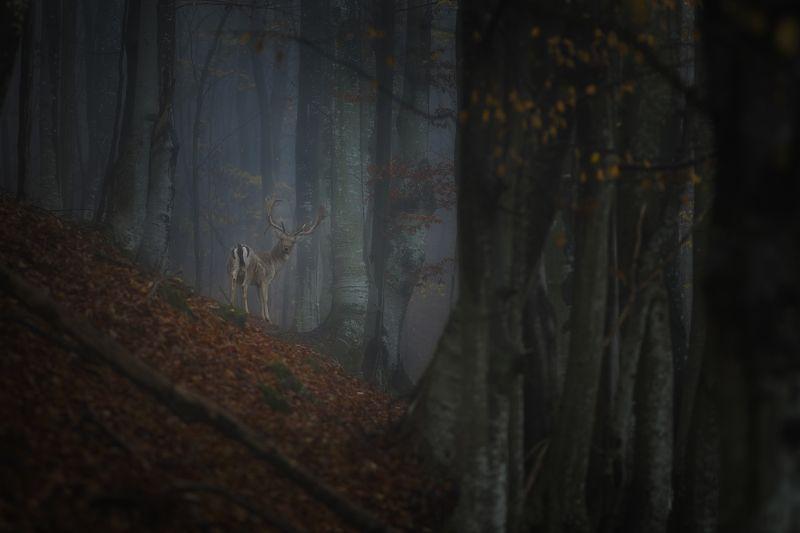 #forest #deer #autumn #landscape #animals #wildlife #wild #mountain #bulgaria Олень в лесу.photo preview