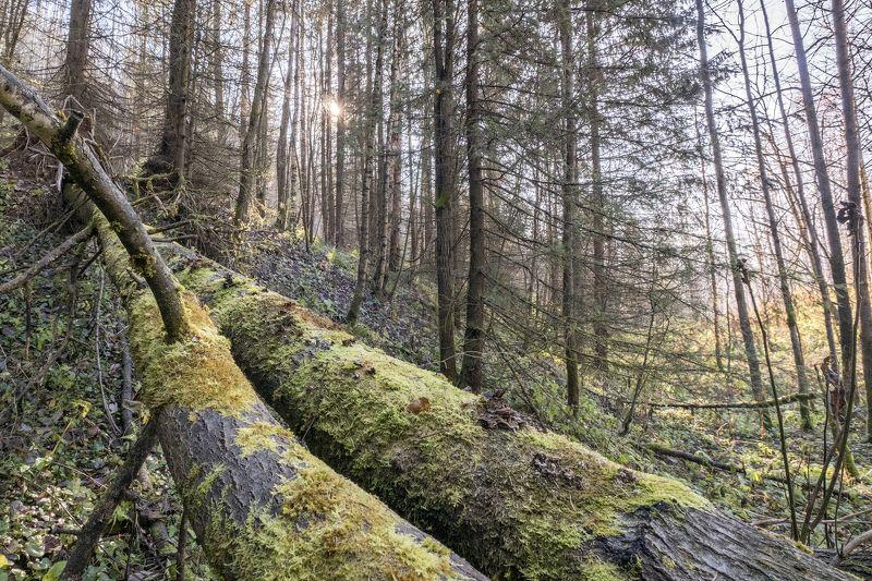лес, мох, бревна, солнце, осень Осеннее солнцеphoto preview