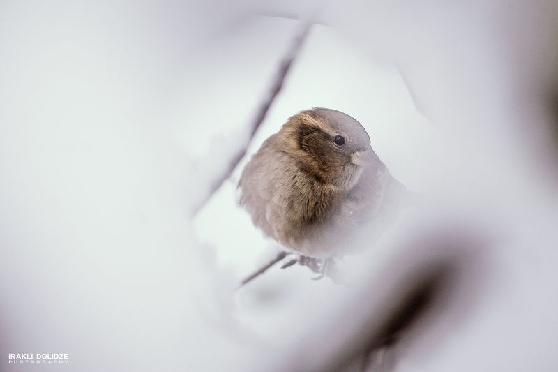 bird. nature, birdlovers, sparrow, winter, care on, Winter is coming...photo preview